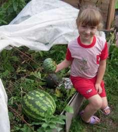 Выращивание арбузов, арбуз на даче